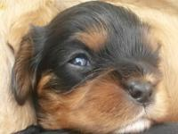 Hi this is Cooper.. He is a AKC Cavalier King Charles