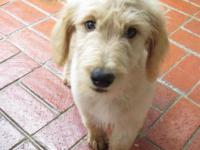 We have golden doodle puppies available, F1-Standard's.