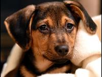 My story Cooper: 3 month old, black, tan, and