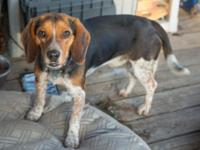 Copper is a young Beagle who is looking for a good home