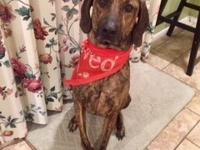Copper is a 2 year old active Plott Hound mix who needs