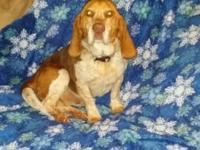 We are rehoming our basset hound, through no fault of