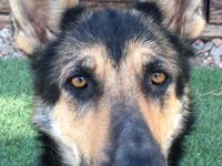 Cora: German Shepherd, Black and Tan, Female, 70 lbs.,
