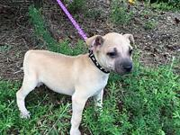 Corduroy's story Corduroy is a male shar pei/boxer mix
