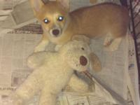 sweet red and white male corgi puppy has had 2 sets of