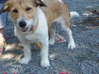 Corgi - Bella - Small - Adult - Female - Dog Meet