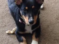 1 yr. old female corgi/border collie. requirements