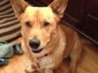 Corgi - Caleb D122096 - Medium - Adult - Male - Dog