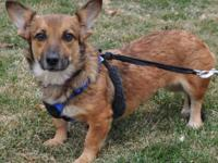 Corgi - Daisy - Small - Young - Female - Dog Daisy is a