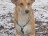 Corgi - Dusty - Medium - Adult - Male - Dog Dusty came