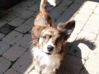 Corgi - Finn - Small - Adult - Male - Dog Hi! My name