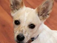 Corgi - Geronimo - Medium - Baby - Male - Dog This