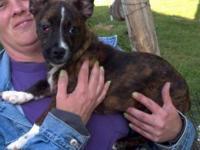 Corgi - Iva - Small - Young - Female - Dog I am a