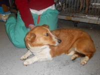 Corgi - Molly - Small - Adult - Female - Dog Molly was