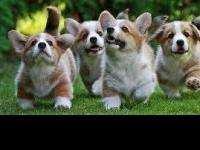 Pembroke welsh corgi puppies available now for sale at