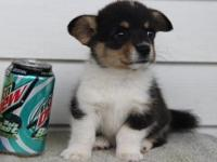I am rehoming a 3month Pembroke Welsh Corgi  I am