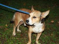 Corgi - Scarlett - Small - Adult - Female - Dog
