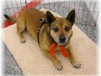 Corgi - Sunny - Medium - Adult - Female - Dog PLEASE
