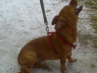 Corgi - Tosha - Medium - Young - Female - Dog Tosha is