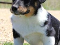 Have a beautiful male corgi cross needs to be rehomed.
