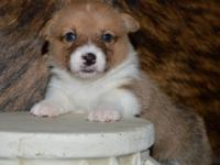 Healthy Corgi/Yorkie Puppies Available today.. males