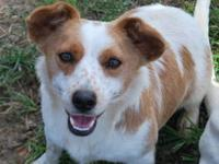 Corgi - Otis - Small - Adult - Male - Dog Otis was