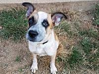 Corie's story Meet Corie! Corie is a 1 year old Heeler