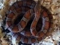 I have a sub adult 3 1/2 ft red corn snake available.
