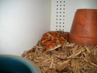 2 year old full grown corn snake very friendly handled