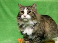 Cornelius is a handsome Maine Coon cat. This breed is