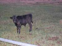 Corriente breakaway roping calves, out of registered