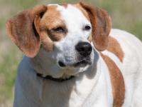 Corrine is a lovely white and tan hound mix with such a