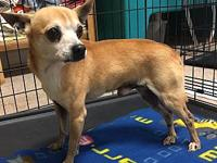Cosco's story Cosco is a male chihuahua mix and