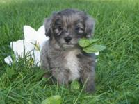 DOB: July 11, 2015 Blue merle male Aussiedoodle,
