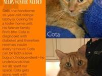 My story Cota is a gentle 10  year old orange tabby