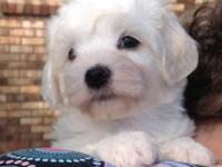 Coton de Tulear m/f pups with Internaional champion