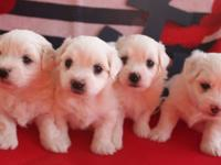 AKC Reg. Coton De' Tulear puppies for sale. Taking