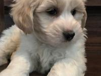 Gorgeous little Male and Female COTON Puppies Ready for