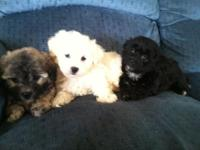 Sweet hypoallergenic family raised puppies. Great