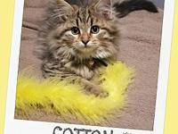 COTTON - Adoption Pending's story *ADOPTION PENDING -