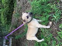Cotton's story Cotton is a male boxer/Shar Pei mix baby