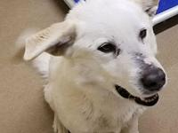 Cotton's story Cotton is a white fluffy Lab mix thatwas