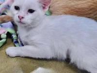 My story COTTON - F, DSH, Flame Point Siamese, Manx,
