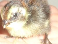I have coturnix quail chicks for sale for $1.00 each in
