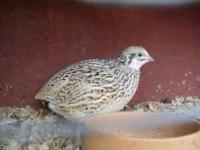 Cotrunix Quail (many colors) $5. per pair. African