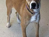 Cougar's story I am a 2 year old fawn female Boxer mix.