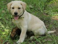 Our litter of country-raised yellow and black lab