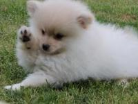 courageous Pomeranian Puppies For sale.for more info