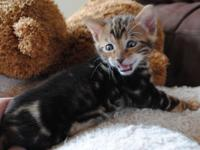 Courageous M/F Bengal Kittens For Pets Lovers.Seeking a