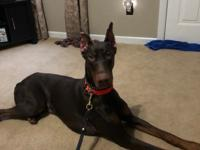 This gorgeous boy is Kash! He is a 1yr old purebred